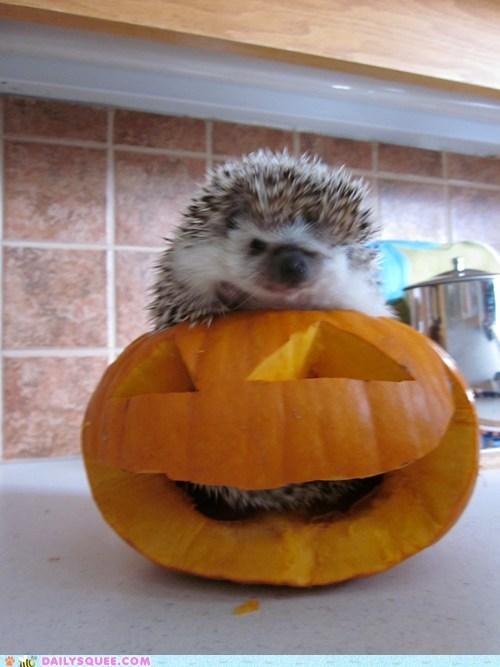 FAIL,grumpy,hedgehog,jackolantern,pumpkins,reader squees