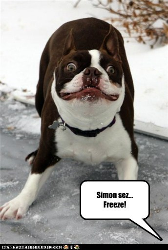 boston terrier,crazy,excited,freeze,hyper,simon says,snow,winter