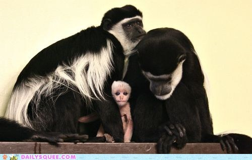 baby,colobus,family,Father,monkey,monkeys,mother,whatsit,whatsit wednesday