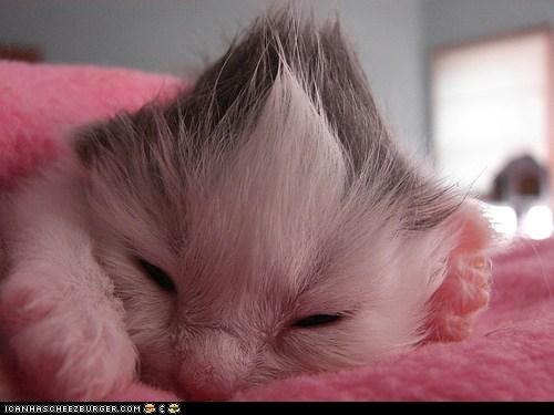 cyoot kitteh of teh day fur hair mohawk newborns tiny - 5650607872