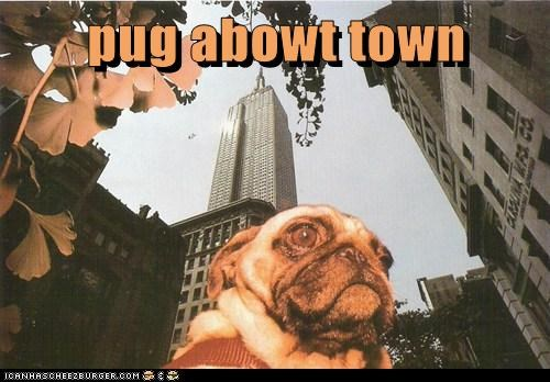 city,classy,new york,prim and proper,pug,pug about town