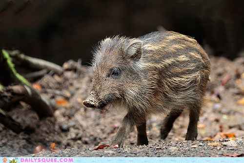 boar,creepicute,piglet,poll,wild boar