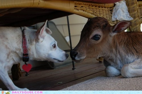 best friends,calf,cow,dogs,friends,friendship,Interspecies Love,jack russell terrier,new,reader squees