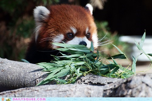 do want,Hall of Fame,nomming,noms,preparations,preparing,red panda