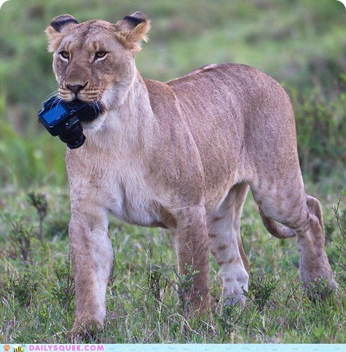 acting like animals camera confiscating evidence lion lioness - 5656898304