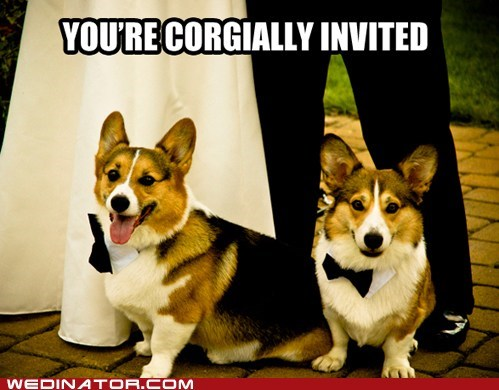 corgis dogs funny wedding photos Hall of Fame - 5658867712