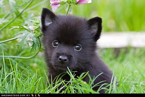 adorable goggie ob teh week grass outside puppy schipperke Sneak Peek sweet face - 5658972672