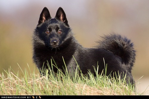awesome goggie ob teh week grass keeping watch outdoors schipperke