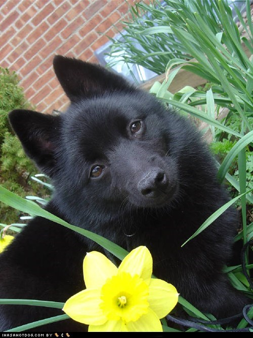 adorable,daffodil,Flower,garden,goggie ob teh week,grass,outdoors,schipperke