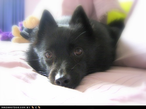 goggie ob teh week,laying down,schipperke,sweet face,whatcha thinkin about