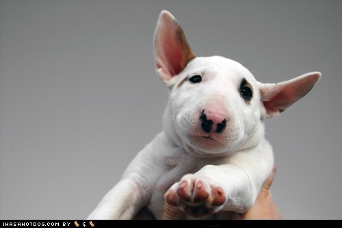 adorable bull terrier cyoot puppeh ob teh day hold it right there puppy sweet face - 5659465472