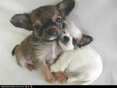 adorbxz,chihuahua,cyoot puppeh ob teh day,friends,love,puppies,puppy