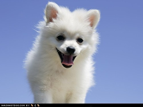 blue sky cyoot puppeh ob teh day happy happy dog puppy samoyed smile smiling tongue tongue out - 5659514368