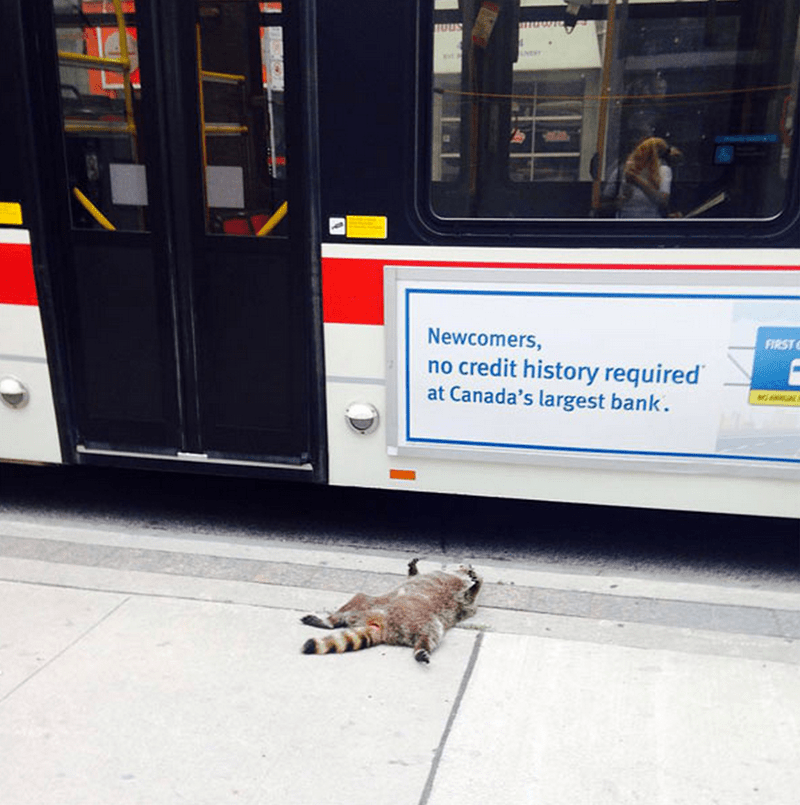 toronto raccoon