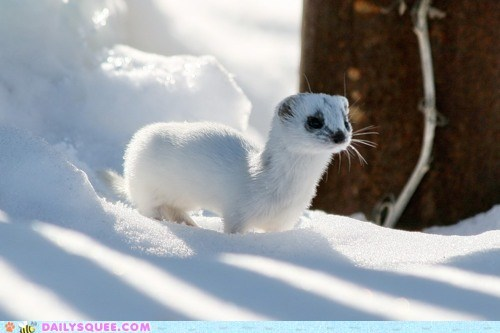 blending in,camouflage,color,cutest,fur,Hall of Fame,snow,weasel,white