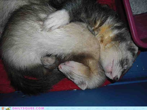 asleep cuddling ferret ferrets nap napping reader squees sleeping - 5662272768