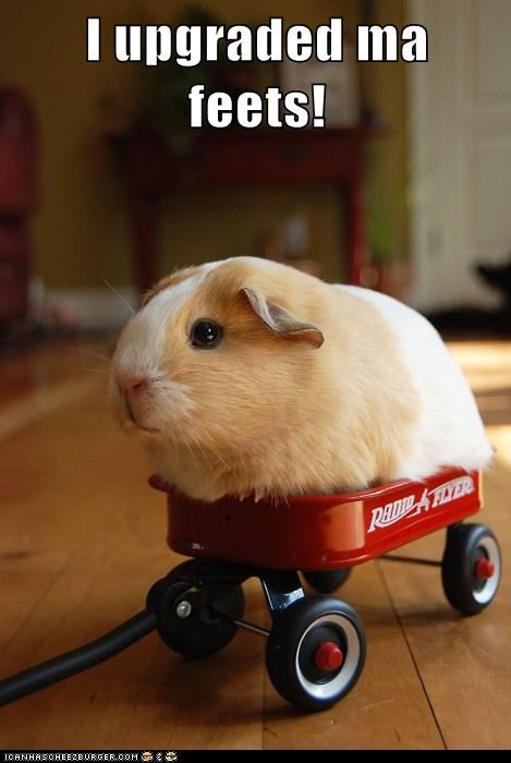animals,caption,captioned,feet,guinea pig,radio flyer,upgrade,wagon