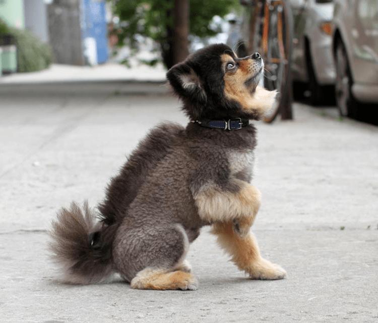 aww pomeranian dogs haircut Fluffy cute style - 5664005