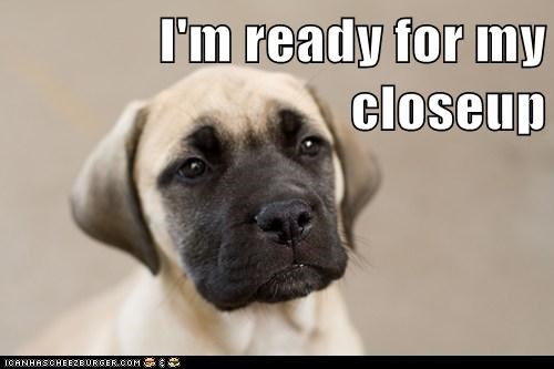 adorable close up famous mastiff model puppy star - 5671922176