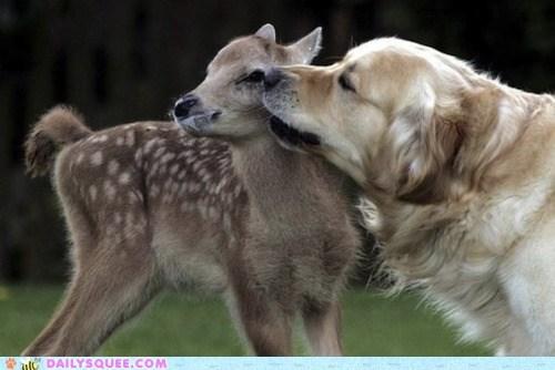 cuddling deer fawn golden retriever Interspecies Love lick licking nuzzle nuzzling - 5672729856