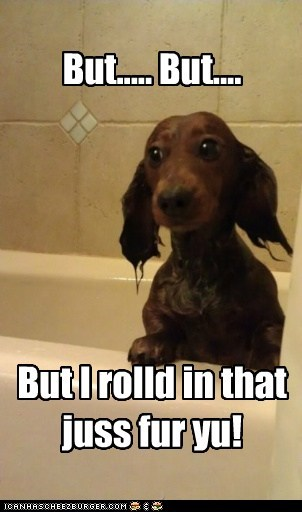 bath bath time dachshund dirty just for you messy smells smelly stink stinky yuck - 5673045504