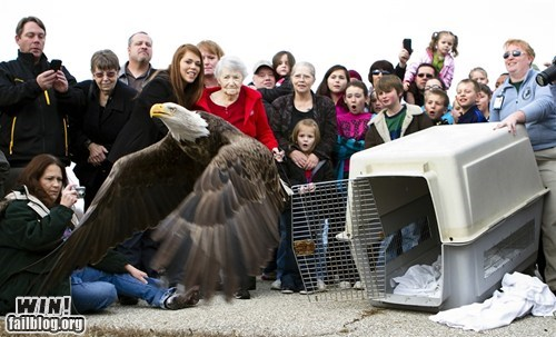 animals captivity eagle flight merica - 5675818752