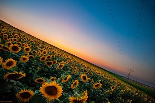 flowers,getaways,horizon,sunflowers,unknown location,yellow
