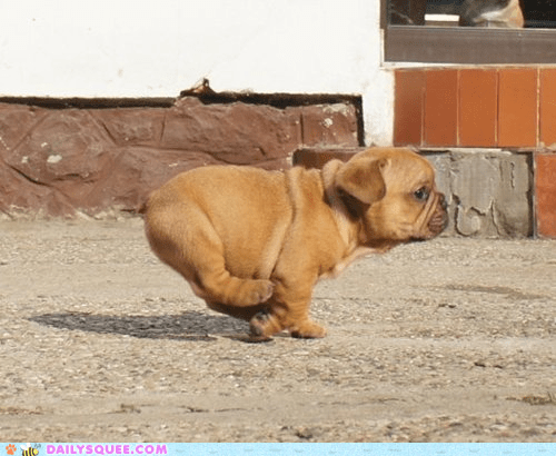 adorable baby baby fat bulldog dogs floppy Hall of Fame pose puppy run running sprinting - 5677298176