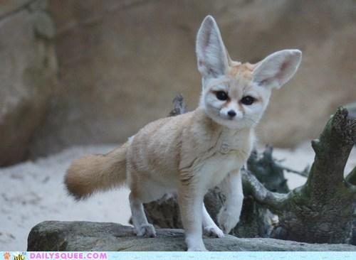bedhead crooked ears expression fennec fennec fox kit tilt tilted waking up - 5677306368
