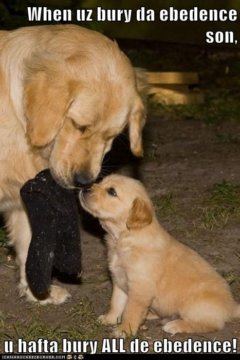 bad dog bury the evidence crime criminal dad evidence get rid of it golden retriever golden retrievers lawyer up learning puppy sock teaching - 5679321856