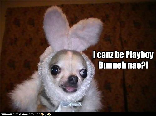 bunny chihuahua cross eyed googly eyes playboy bunny tongue tongue out - 5680227584