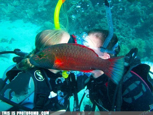 Animal Bomb aquarium couple diving fish PDA - 5680781312