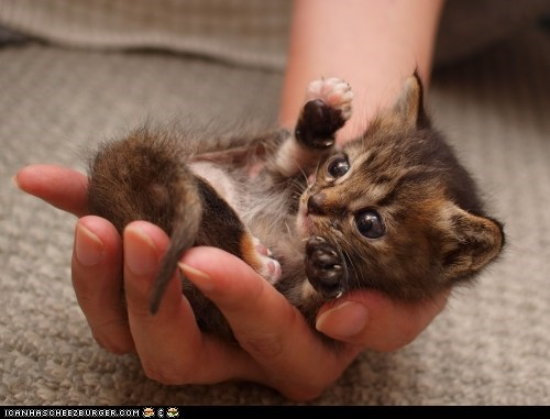 best of the week,cyoot kitteh of teh day,hands,kitten,palm,palmful,tiny