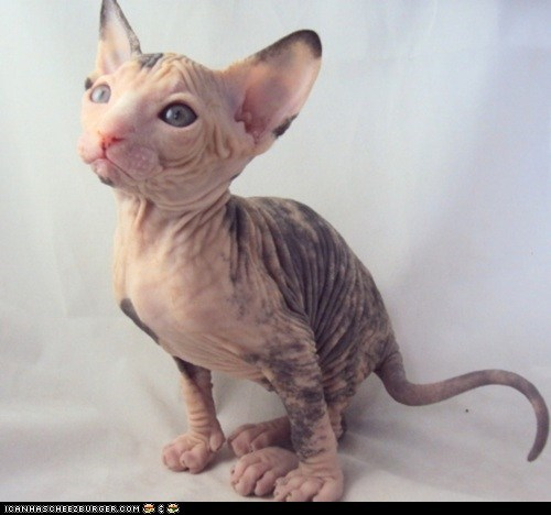 cyoot kitteh of teh day,hairless,kitten,nekkid,proud