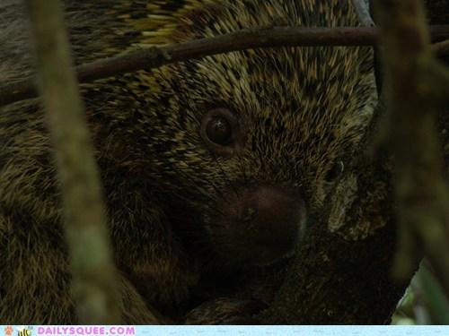 baby big coendou eyes peaking squee spree wide eyed - 5681404416