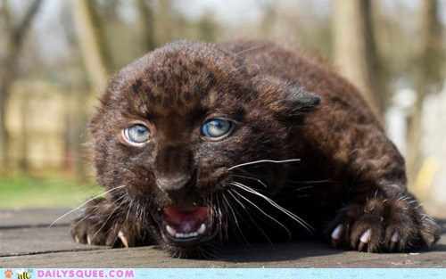 adorable,baby,cub,ferocious,Hall of Fame,jaguar,meowing,threatening