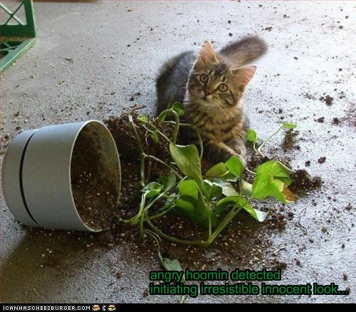 accident angry best of the week caption captioned cat defense detected Hall of Fame human initating innocent irresistible kitten look mess plant spill - 5681734912