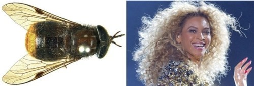 beyoncé,For Science,fun side of taxonomy,Horse Fly