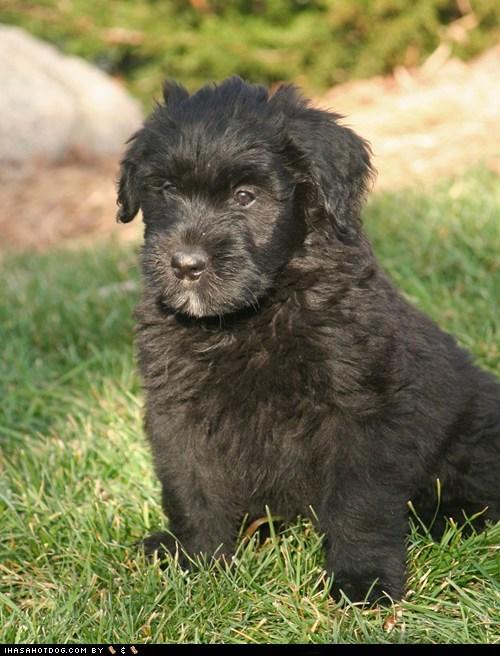 goggie ob teh week puppy Sneak Peek whatbreed - 5688468992