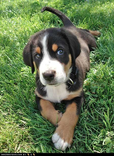 cute face cyoot puppeh ob teh day grass outdoors puppy sweet face swiss mountain dog - 5688645632
