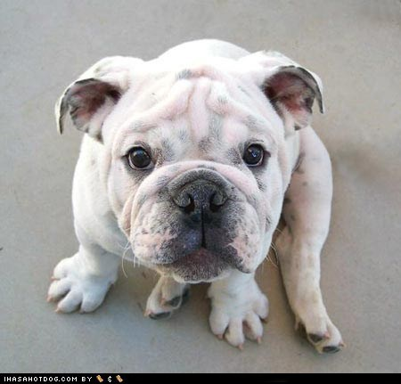 bulldog,cute face,cyoot puppeh ob teh day,puppy,sweet face