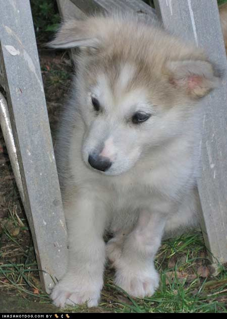 bad luck,cute face,cyoot puppeh ob teh day,husky,ladder,puppy,sweet face