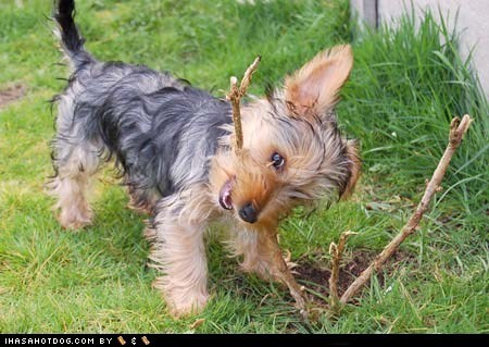 cute face cyoot puppeh ob teh day garden gardening plant puppy stick sweet face teeth yorkie yorkshire terrier