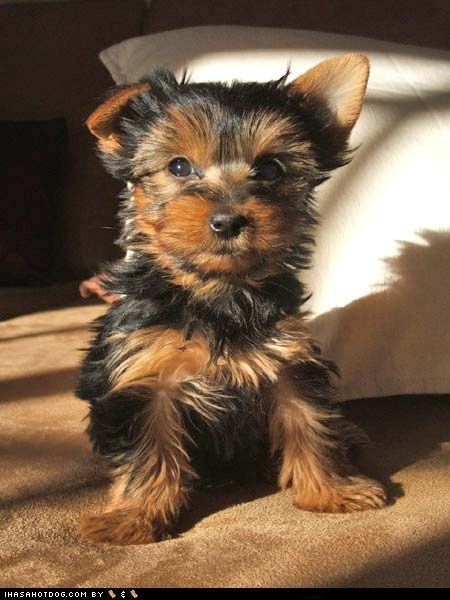 bed,cute face,cyoot puppeh ob teh day,puppy,sweet face,yorkie,yorkshire terrier