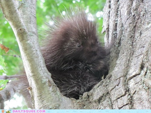 drowsy nap nocturnal porcupine sleepy tree - 5688818432