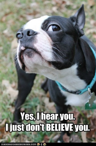 boston terrier i dont believe you skeptical suspicious what did you say - 5689082624