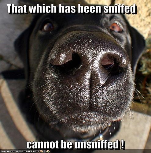 Black Lab in your face labrador retriever nose smell sniff