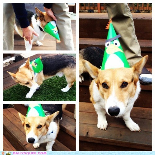 acting like animals,angry birds,birthday,confused,corgi,hat,Party