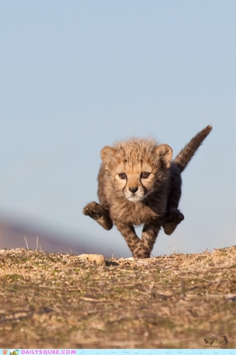 adorable baby cheetah cub Hall of Fame run running sprint sprinting velvet underground - 5690161152
