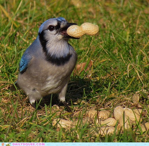 bird,caring,food,Jay,nomming,noms,offer,peanut,sharing